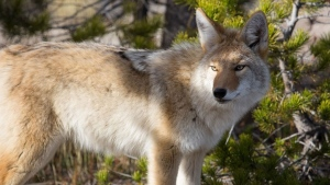 A coyote is pictured in an undated file photo (Creative Commons)
