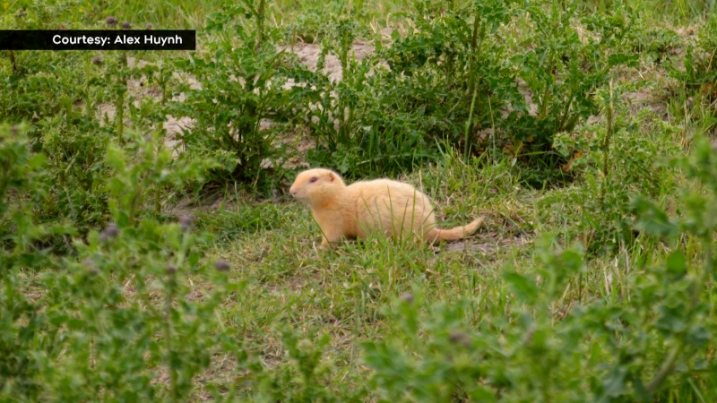 Alex Huynh snapped a few pictures of a Richardson's ground squirrel that has leucism. (Courtesy Alex Huynh)