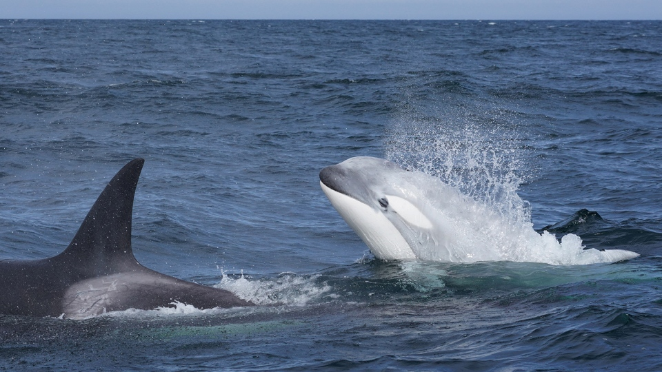 Researchers say a young white orca living off the coast of B.C., named Tl'uk, appears to be thriving as he nears his second birthday: (Jared Towers)