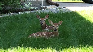Fawns relaxing in the shade. Photo by Don McLeod.