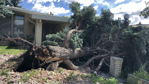 Strong winds caused trees to topple in Edmonton