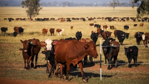 Cattle ranching is a major driver of methane emissions. (David Gray/Bloomberg/Getty Images/CNN)