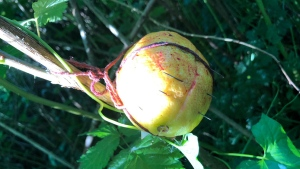 A lemon with needles in it was found on a Port Coquitlam trail. (RCMP handout)