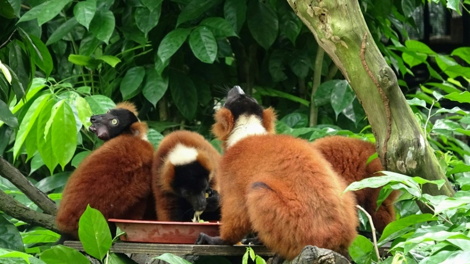 Red-ruffed lemurs in their enclosure at Singapore Zoo. (AFP)