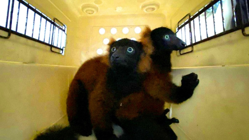 The twin red-ruffed lemurs are moved in a pet-carrier to a vet for check-up in this picture relased by Wildlife Reserves Singapore. (AFP)