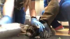 Animal rescue workers in Pittsburgh were able to free a young raccoon after it got its head lodged in a soup can.