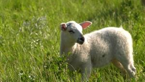 sheep living prairie