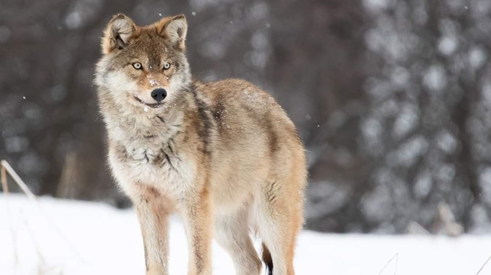 Wolf photographed by Chrisina Emond in northern Ont. (Christina Emond)