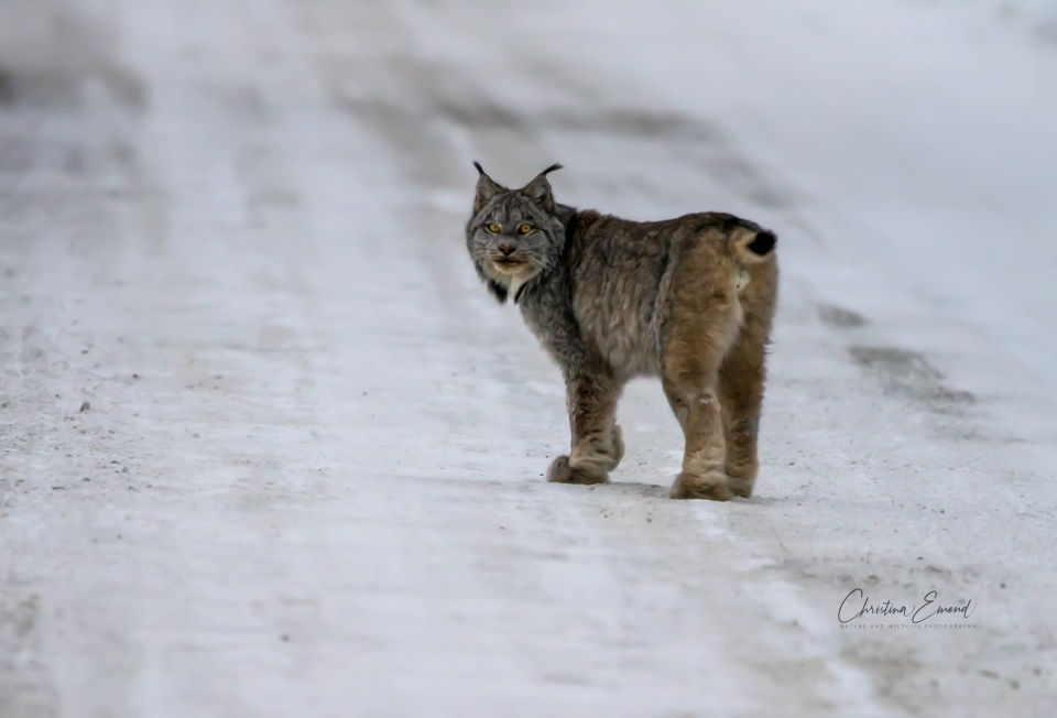 Lynx walks down rural northern Ontario road