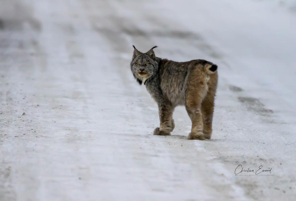 Lynx walks down rural northern Ontario road