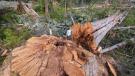 (Photo credit: TJ Watt/Ancient Forest Alliance)
