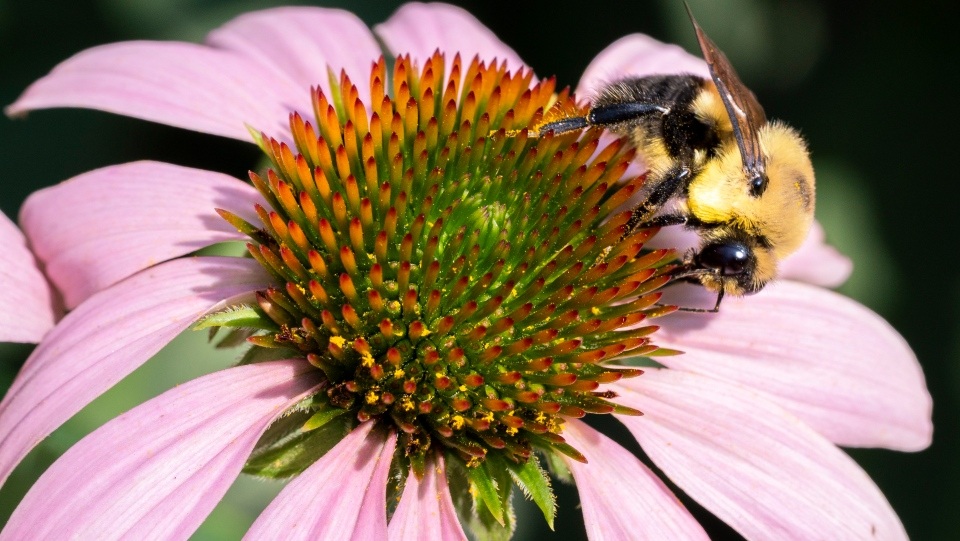 In this file photo a bee gathers pollen from a flower in a Montreal park on Tuesday, July 30, 2019. THE CANADIAN PRESS/Paul Chiasson