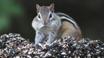 FILE - In this Oct. 6, 2005 file photo, a chipmunk stuffs his mouth with seeds and returns to his nest to store them for winter in Canterbury, N.H. (Ken Williams/The Concord Monitor via AP, File)