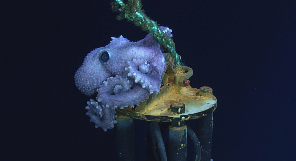 """Corky"" the octopus on the CORK Wellhead instrument it was named after near the Cascadia Basin. (Ocean Networks Canada)"