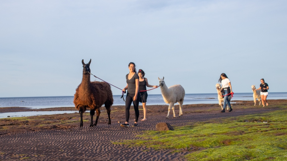 Llama-zing Adventures is a New Brunswick business that offers the public the chance to go on a beach walk or river hike with a four-legged friend. (Source: Llama-zing Adventures/Facebook)