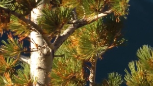 The mountain pine beetle is just one of the challenges the endangered whitebark pine needs to face in Canada. (File)