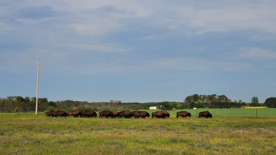 A group of bison was released on Muscowpetung Saulteaux Nation on July 23, 2020. (Donovan Maess/CTV News)