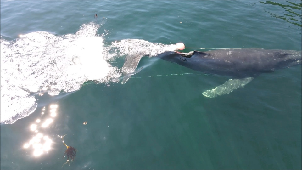 Fishing gear is seen entangled on a Humpback whale near Vancouver Island: (Fisheries and Oceans Canada)