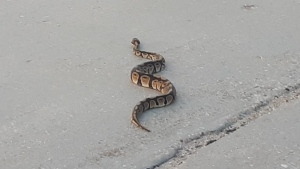 The city has called off the search for the missing python that remains at large in Winnipeg. (Submitted: Prasad Gowdar)