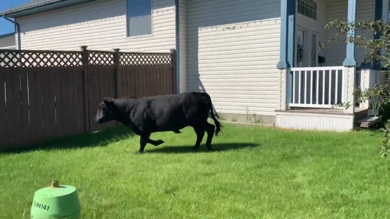 A steer was on the loose in Red Deer, leading RCMP on a 90 minute chase. Monday July 27, 2020 (Courtesy: City of Red Deer)