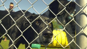 Dogs at the Edmonton Humane Society, the society has seen increased adoption numbers this year. Tuesday July 28, 2020 (Carlyle Fiset/CTV News Edmonton