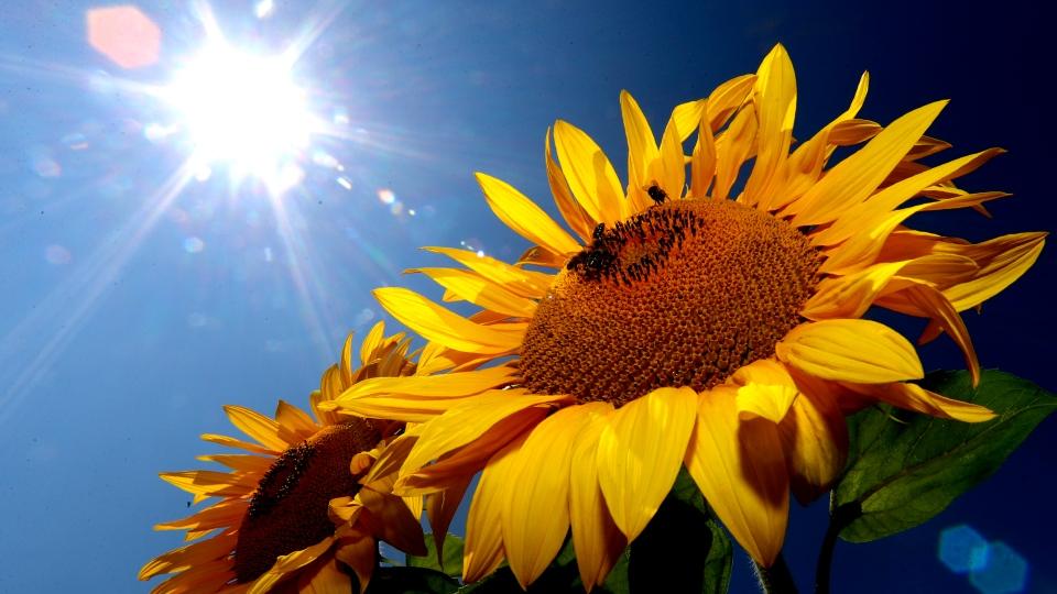bees sunflower