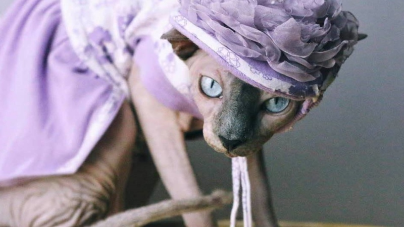 Prunella the sphynx cat had just under 2,500 Instagram followers as of July 29, 2020. (Courtesy: Dee Kitsch)