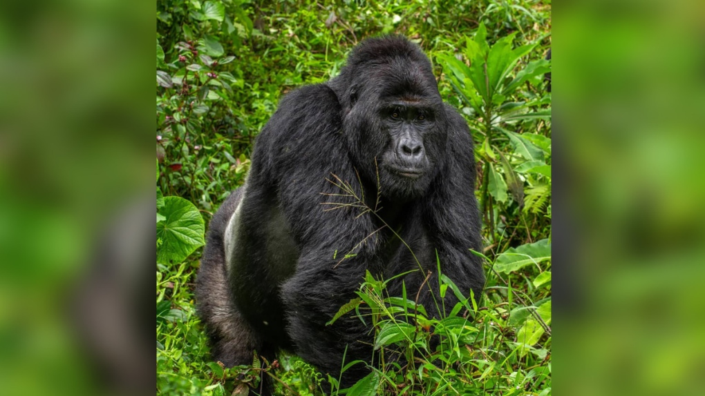 Uganda: Poacher who killed rare gorilla gets 11 years in jail