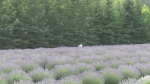 Lavender Farm in Creemore