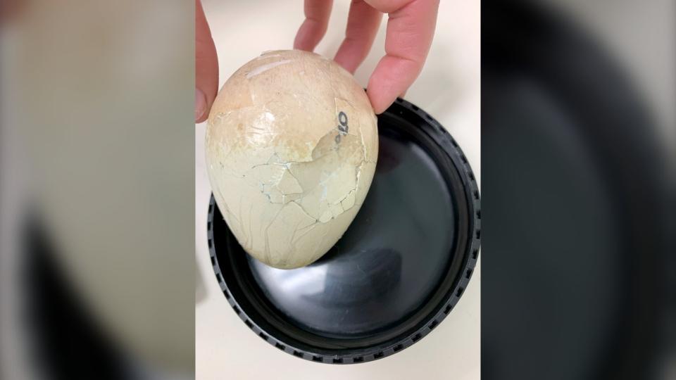 Calgary Zoo king penguin egg