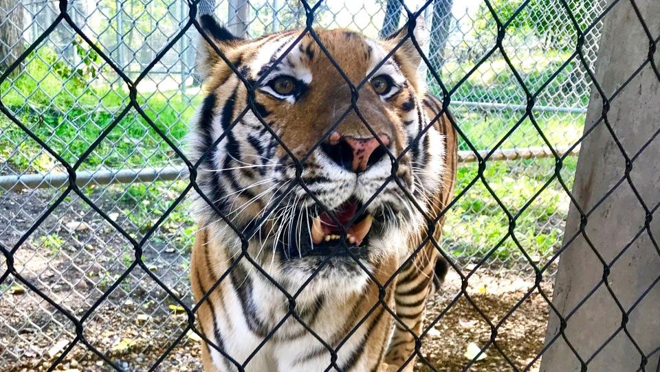 Amur tiger at Edmonton Valley Zoo