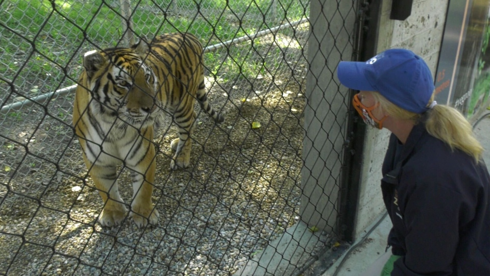 Tiger with trainer