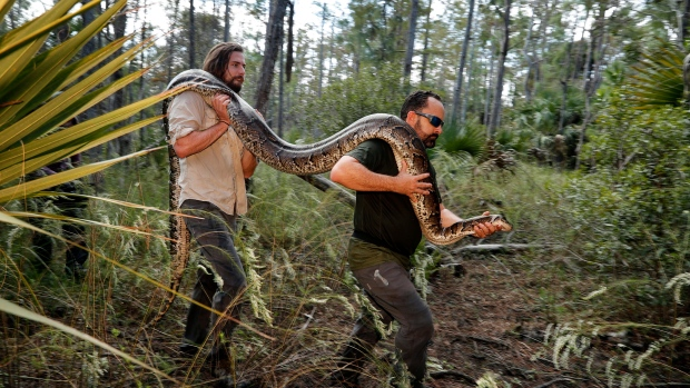 In this Wednesday, Oct. 23, 2019, photo, Ian Bartoszek, right, and Ian Easterling carry a 14-foot, 95-pound, female Burmese python out of an upland habitat in Naples, Fla. (AP Photo/Robert F. Bukaty)