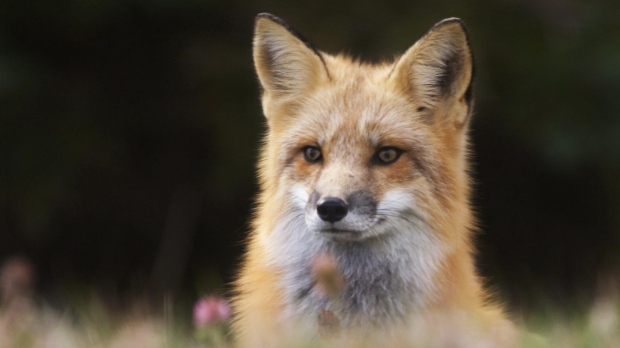A red fox is pictured in this file photo taken on Oct. 25, 2002 .(CP PHOTO/Andrew Vaughan)
