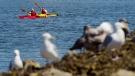CTV National News: Victoria's seagull hotspot