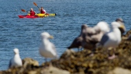 CTV National News: Victoria's seagull hotspot