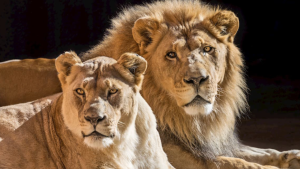 A photo showing African lions Hubert and Kalisa, animals the L.A. Zoo euthanized together on July 30, 2020, so they wouldn't have to live alone. (Credit: Jamie Pham/Los Angeles Zoo & Botanical Gardens)