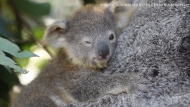 The Australian Reptile Park in New South Wales announced the birth of 9 joeys following devastating bushfires that killed thousands of koalas.