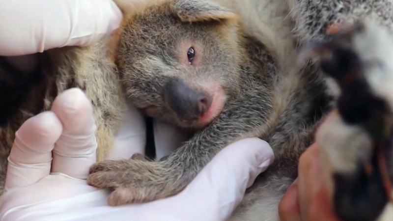 Thousands of koalas were killed when wildfires swept through Australia last winter.