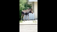 A moose in Bowness, on the west end of Calgary, Monday afternoon. Video courtesy Dale Belyea