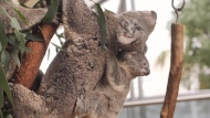 CTV National News: High stakes for koalas