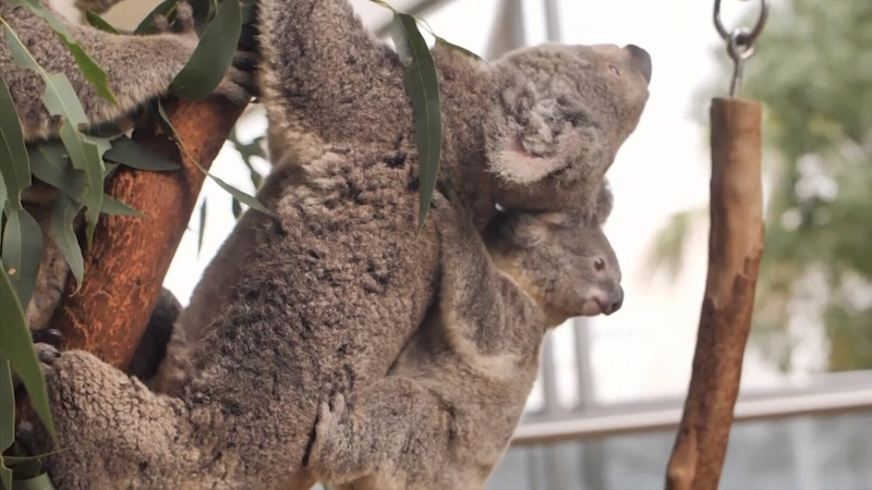 CTV National News: High stakes for koalas