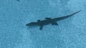 Man finds a gator casually swimming in his pool