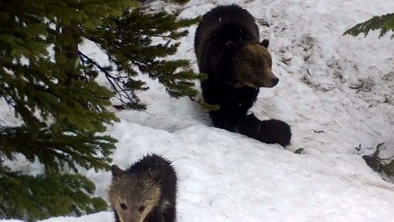 'Grizzly camera' captures mama bear and cubs