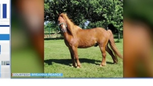 Volunteer effort grows in Callander to search for missing pony after the animal recently arrived from a rescue centre in Southern Ontario.