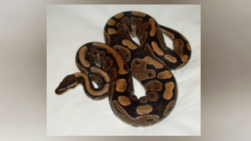 Police warning of missing python in Victoria