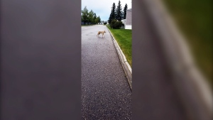 Residents of a northwest Calgary trailer park are concerned by increasing numbers of coyotes roaming around, with some even charging at pets