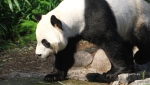 Da Mao, a male giant panda seen here in an image provided by the Calgary Zoo, still has not returned to China with the female panda, Er Shun. (Supplied)