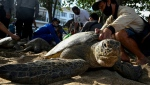 Rescuers released two dozen green sea turtles on Kuta beach near Denpasar in Bali after police arrested seven alleged poachers. (AFP)