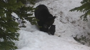 Watch mama bear and cubs emerge from hibernation
